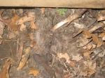 dead-raccoon